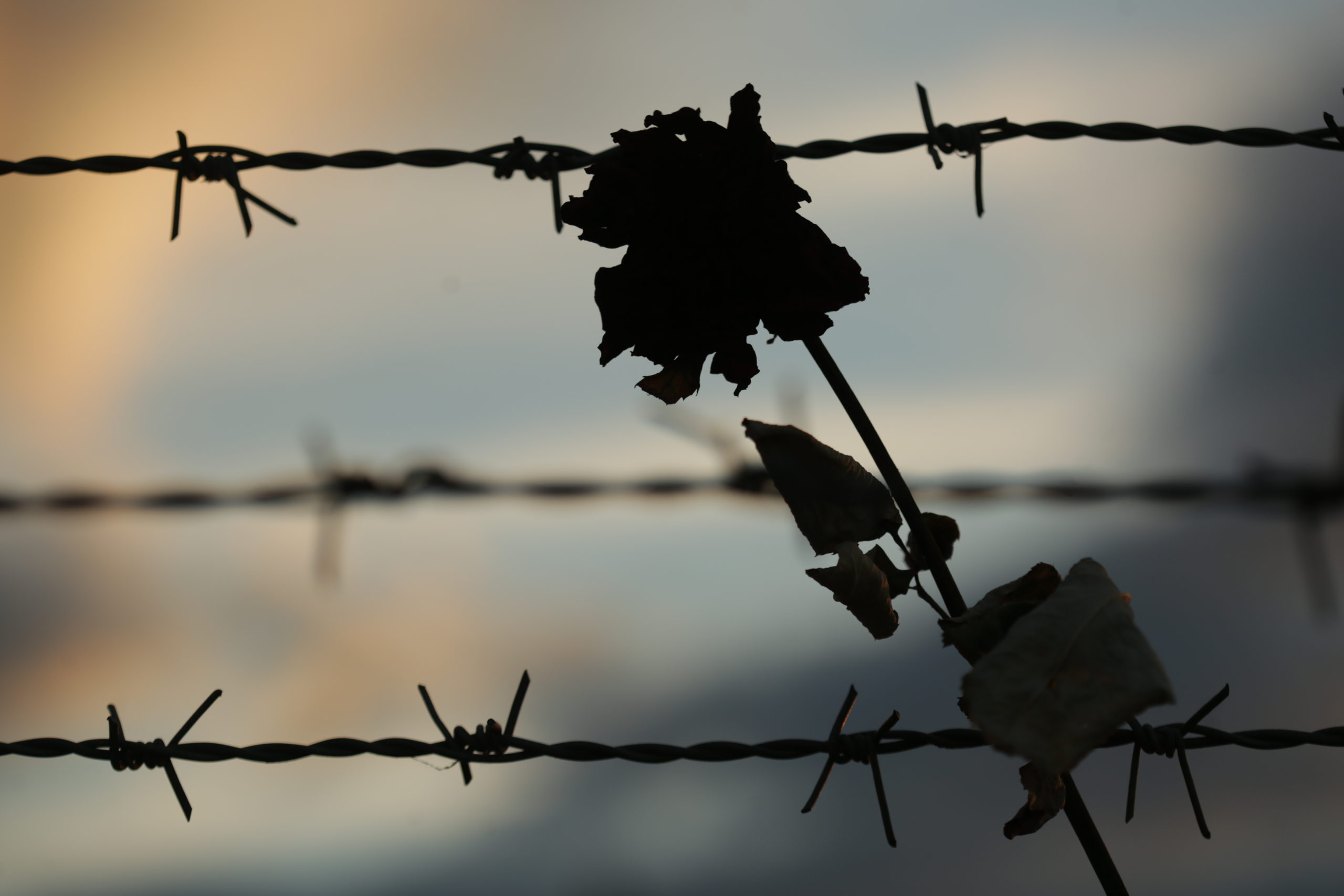 Photo of flower in front of barbed wire fence taken in Auschwitz-Birkenau by Jaroslaw Praszkiewicz.